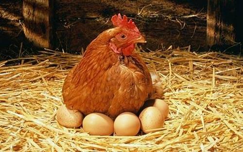 фото курица сидит и рядом яйца