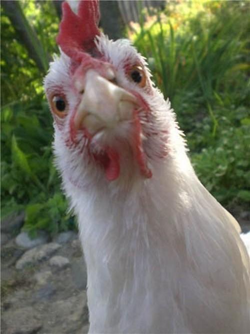 признаки заражения курицы глистами