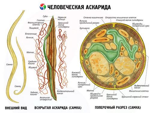 Цикл развития аскариды человеческой