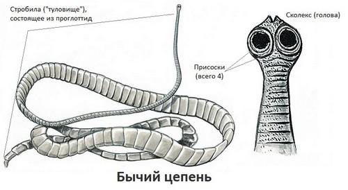 какие паразиты живут в организме человека