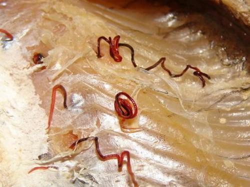 Красные черви в рыбе