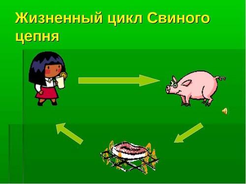 свиной цепень цикл