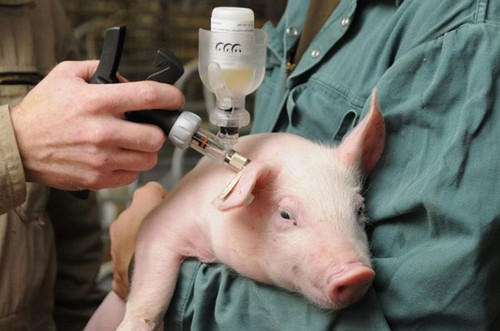 укол свиньи