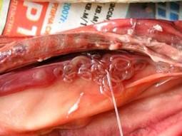 Заражение описторхозом от рыбы