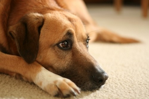 собака заражена глистами