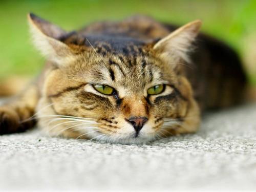 апатичный кот
