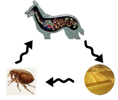 цикл огуречного цепня